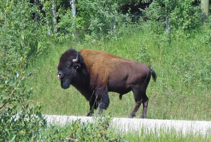 bison,