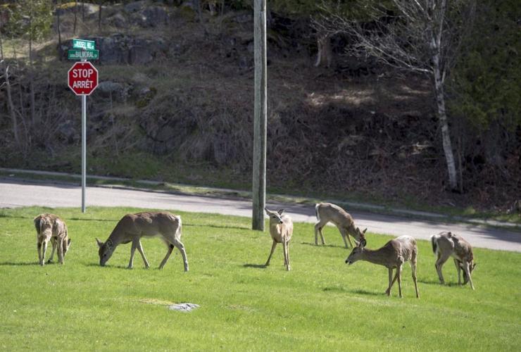 Deer, graze, Saint John,