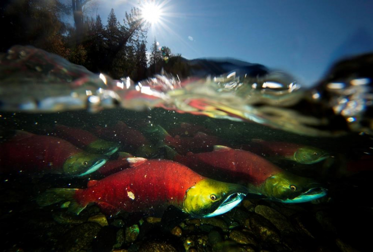 Spawning sockeye salmon, pacific salmon,