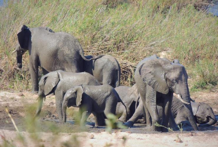 herd of elephants, Kruger National Park, South Africa,