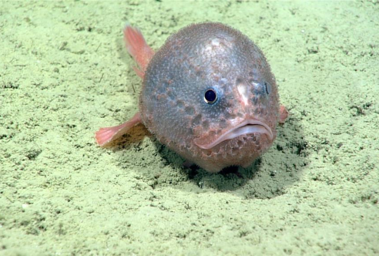 football fish, Verrill canyon, National Oceanic and Atmospheric Administration, research ship, Nova Scotia,