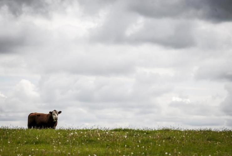 bull, grazes, pasture, farm, Cremona,