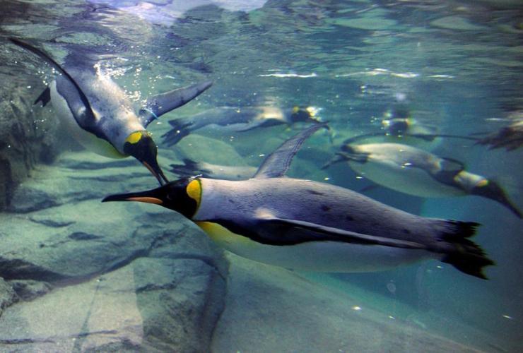 King penguins, swim, Penguin Plunge, Calgary Zoo, Calgary, Alberta,