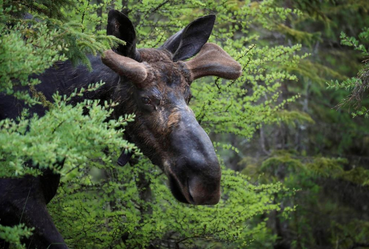 bull moose, Umbagog National Wildlife Refuge, Wentworth,