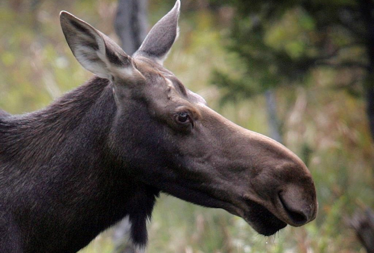 moose, Franconia,