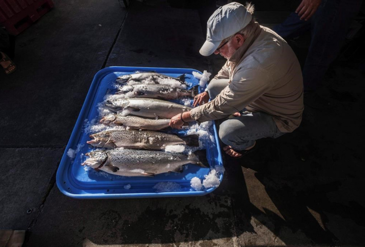 Riley Starks, Lummi Island Wild, farm-raised Atlantic salmon, Kings, Point Williams,