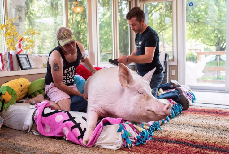 Canadian authors Steve Jenkins and Derek Walter spend time with their pig Esther at their animal sanctuary in Campbellville, Ont., on Wednesday, July 11, 2018. File photo by The Canadian Press/Hannah Yoon