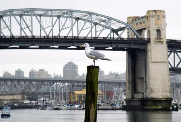seagull, Burrard Street Bridge, English Bay, Vancouver,