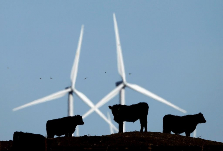cattle graze, wind turbines,