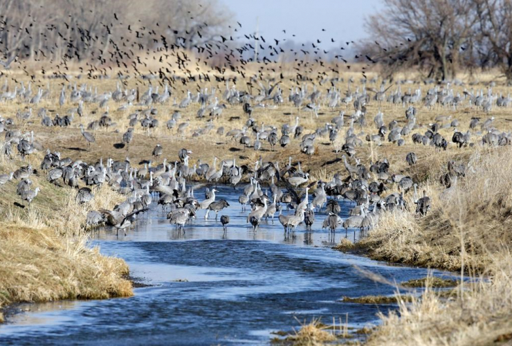 flock of birds, sandhill cranes, pond, Newark,