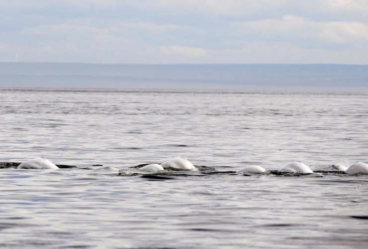 Beluga whales, Tadoussac, Que.,