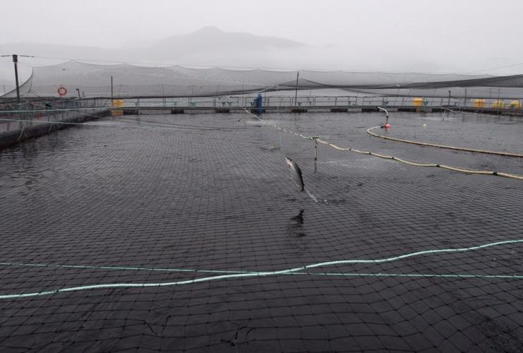 Atlantic salmon, fish farm,