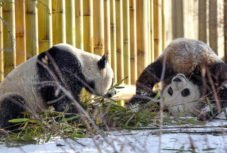 Giant pandas, Panpan, Yueyue,