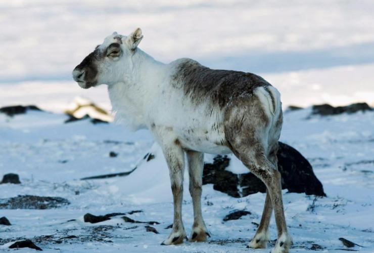 wild caribou, Nunavut,