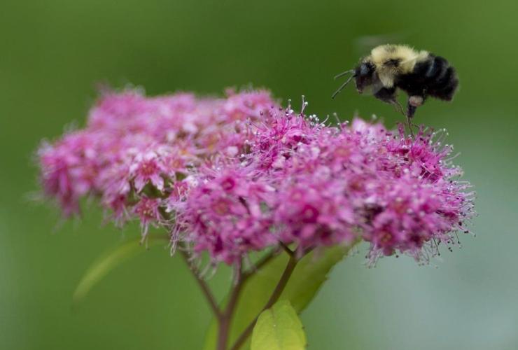 bee, pollinates, flowers, garden, Chelsea, Que.,