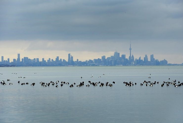 Birds, swim, Lake Ontario,
