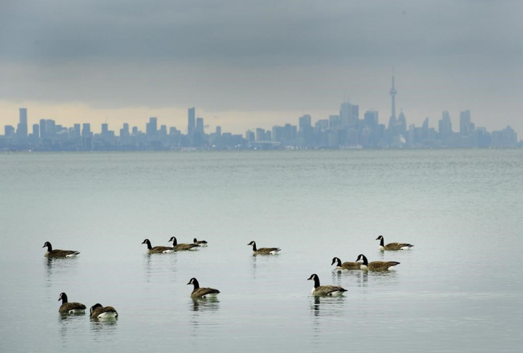 Canadian Geese, swim, cold waters, Lake Ontario,