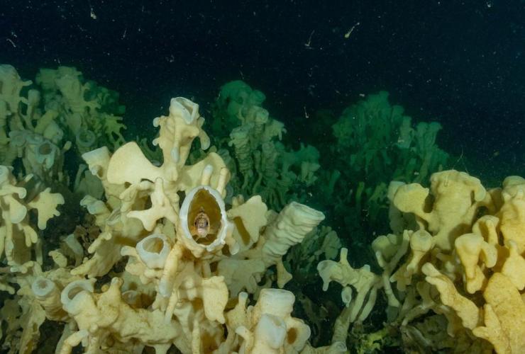 Glass sponges, Howe Sound,