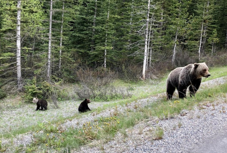 grizzly bears, grizzly cub, white head,