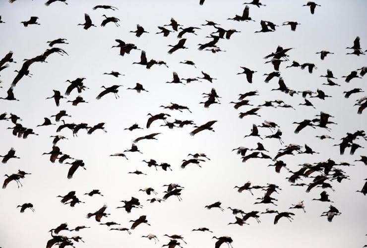 Sandhill cranes, Gibbon, Neb.,
