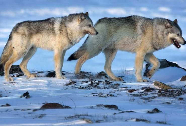 Wolves, tundra, Meadowbank Gold Mine, Nunavut,