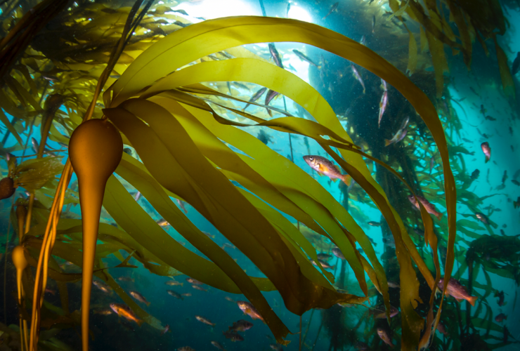 Kelp forests benefit everything from snails and anemones to seals and whales.