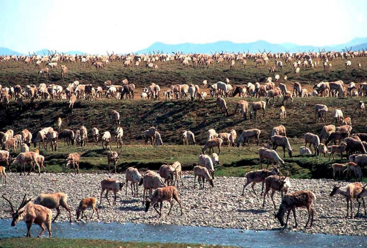 caribou, Porcupine caribou herd, migrate, coastal plain, Arctic National Wildlife Refuge, northeast Alaska,