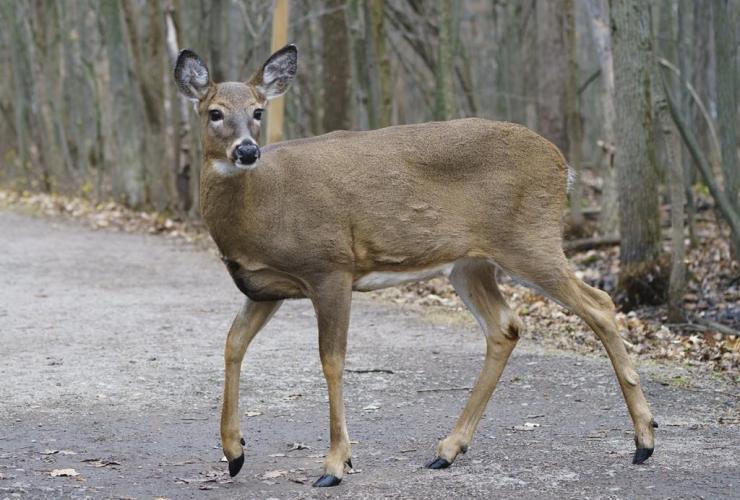 deer, Michel-Chartrand Park, Longueuil, Que.,