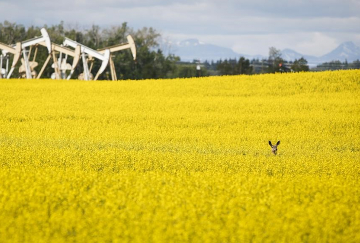 Pumpjacks, canola field,