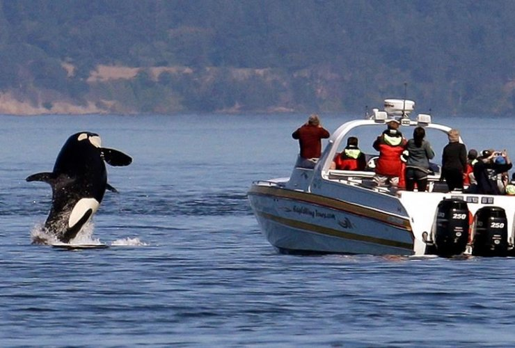 orca, whale watching boat, Salish Sea, San Juan Islands,