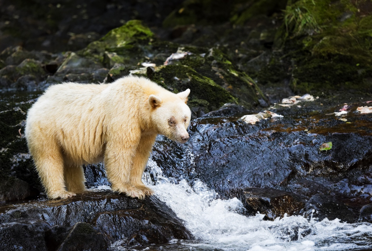 Spirit Bear in Great Bear Rainforest. Photo by Andrew S. Wright