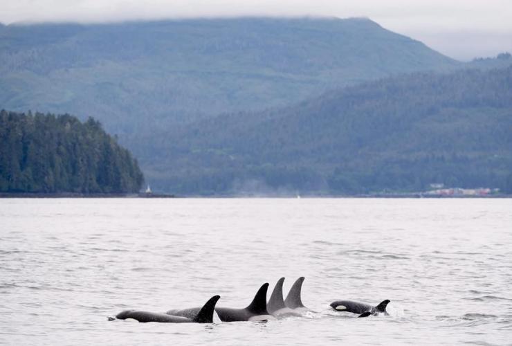 Orcas, Chatham Sound, Prince Rupert,