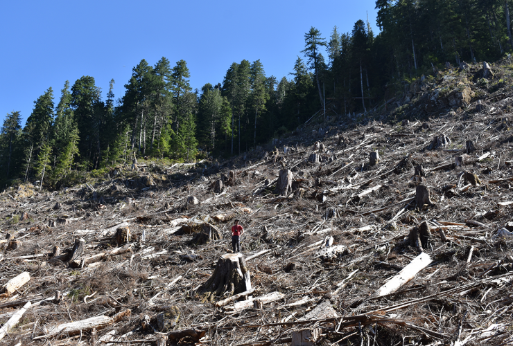 clear cut old-growth forest in Caycuse Valley