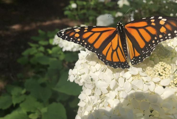 monarch butterfly,