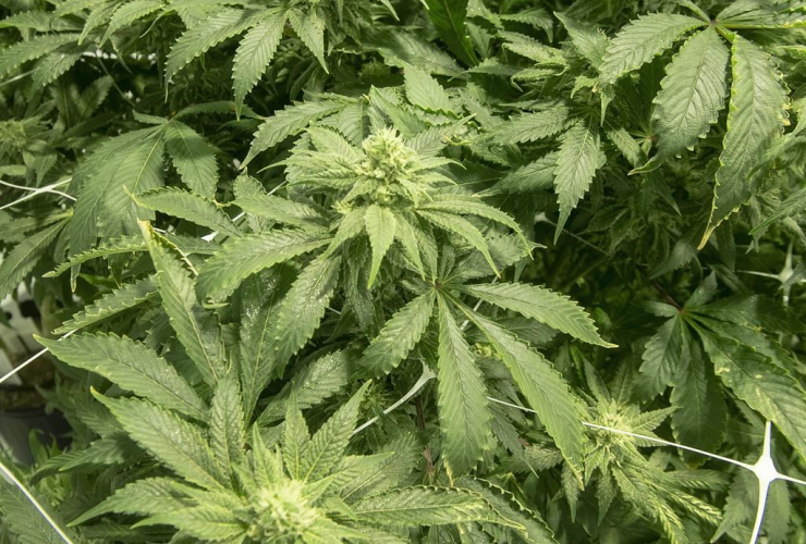 Cannabis plants,