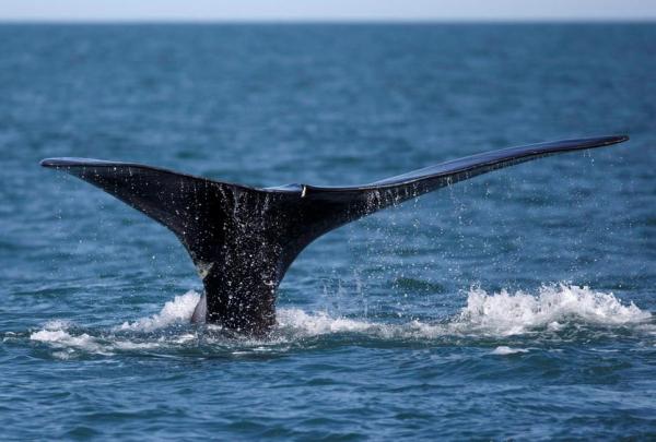 North Atlantic right whale, Cape Cod bay,