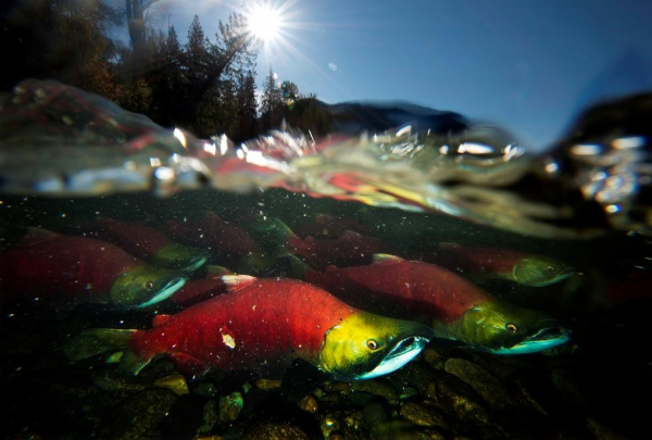 Spawning sockeye salmon, pacific salmon,