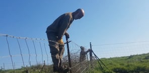Picking akoub in the Golan Heights